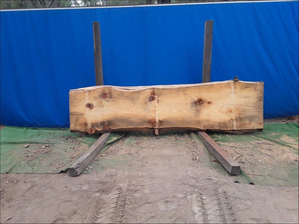 Norfolk Island Pine (TS463NIP)